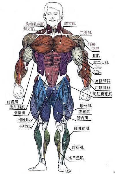 肌肉 - 正面