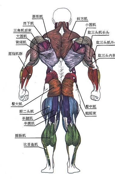 肌肉 - 背面