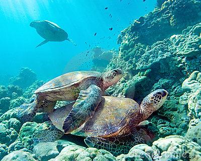 夏威夷毛伊海龟-12058983