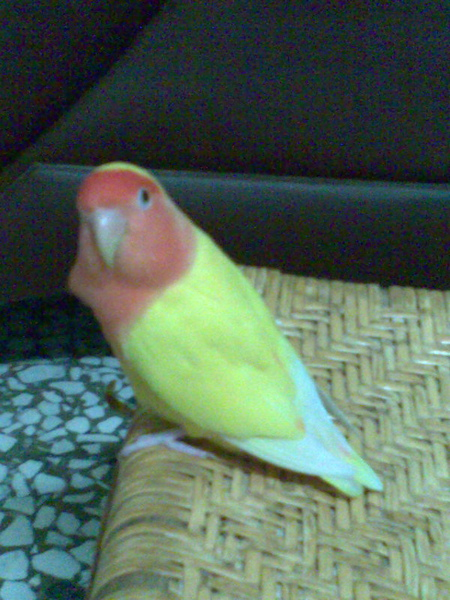這是娘家養的紅目鸚鵡,名叫:妞妞。牠是小姐呦!^^