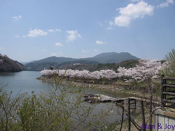 12.今年日本因為氣溫較冷,所以這時候我們還可以看到櫻花唷