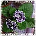 大岩桐(紫色)
