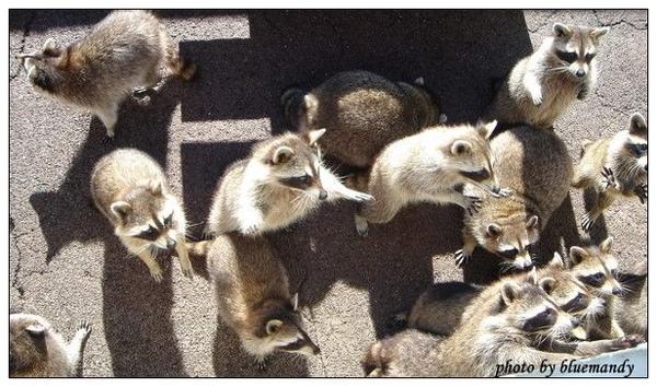可愛的熊牧場-浣熊