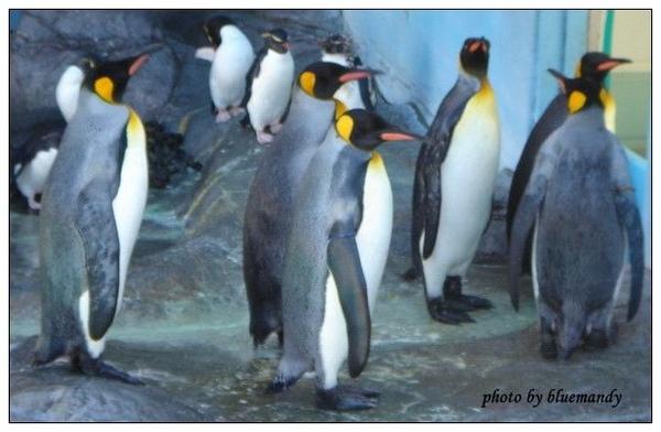 尼克斯海洋公園-企鵝秀