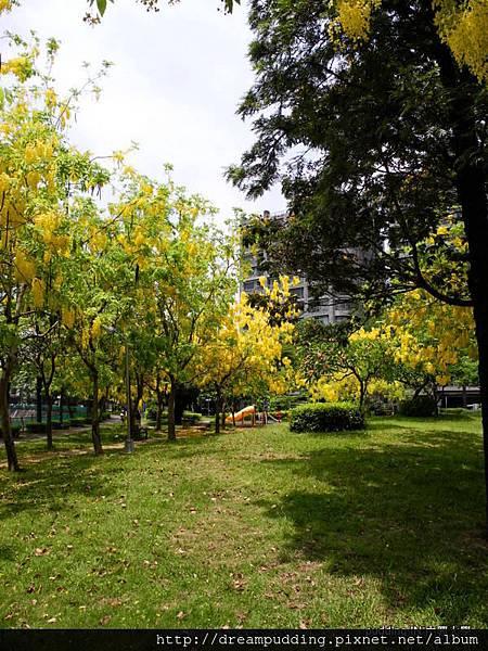 中興大學黃金雨