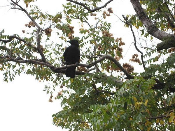 飛滿天的不是麻雀,而是烏鴉,超級吵呢
