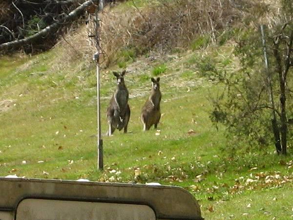 野生袋鼠亂亂跳,不過超遠,他們也超害羞