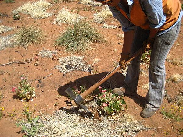 我們的工作--挖草,這些花草看似美麗,但對原生植被有負面影響