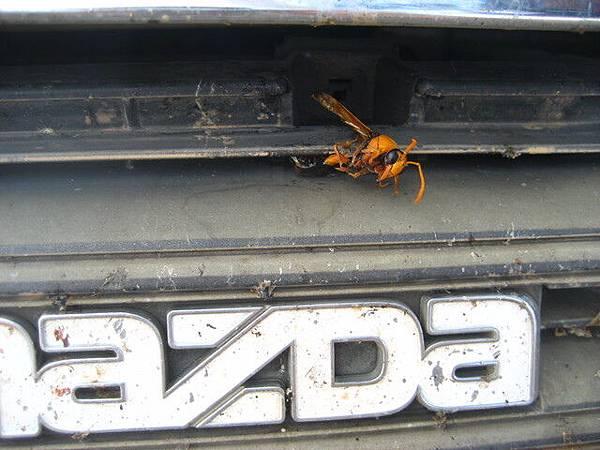 這段旅程有一大堆昆蟲死在小白臉上,這隻有點大,拍一下