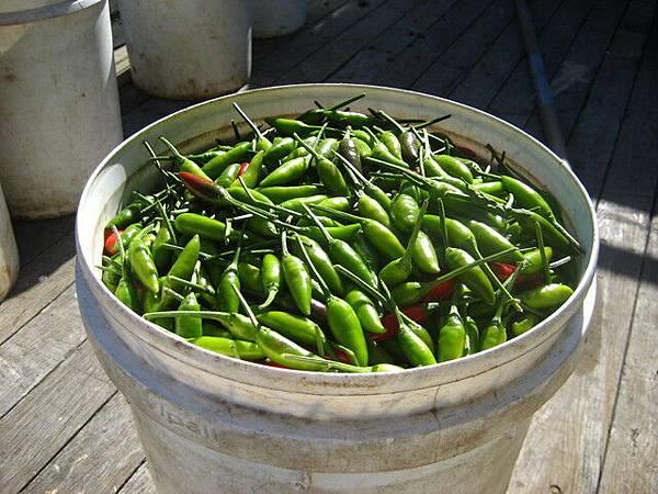 辣椒,不要看他們小小的,可辣的很,可是採的時候沒什麼感覺