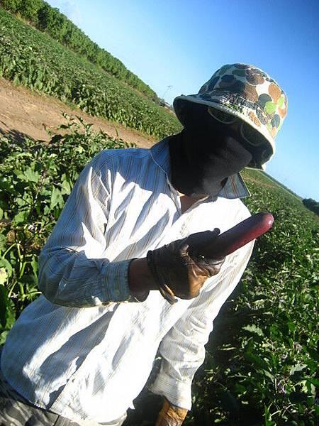 可怕的茄子,葉子間有很多粉末,會造成過敏,是這一區最糟的工作