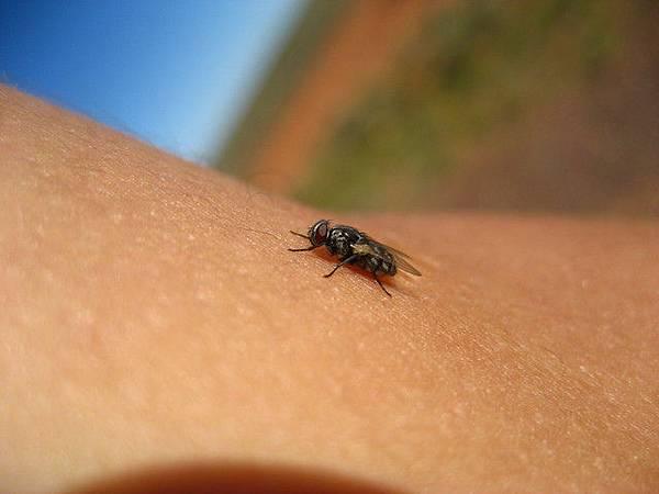 特寫一張這些可愛又可惡的蒼蠅