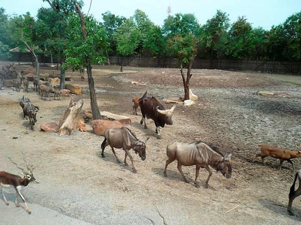 0110賽福瑞野生動物園之羚羊.jpg