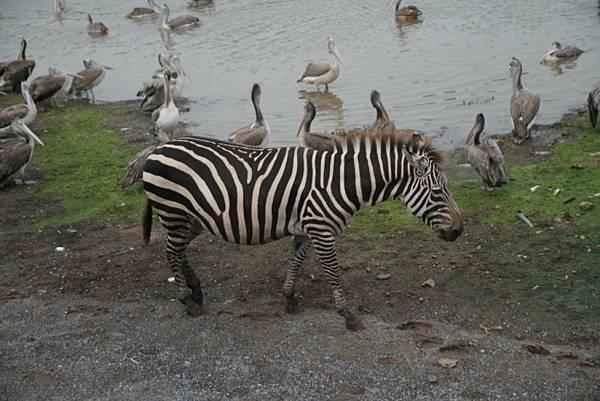 0110賽福瑞野生動物園之斑馬.JPG