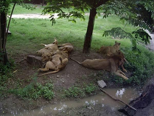 0110賽福瑞野生動物園之睡獅.JPG