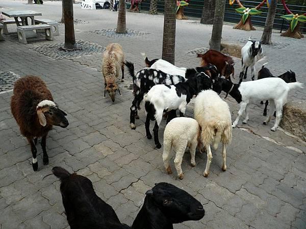 0316東芭樂園之羊群.jpg