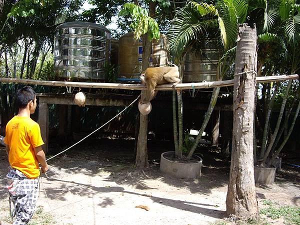 0318東芭樂園之猴子摘椰子.JPG