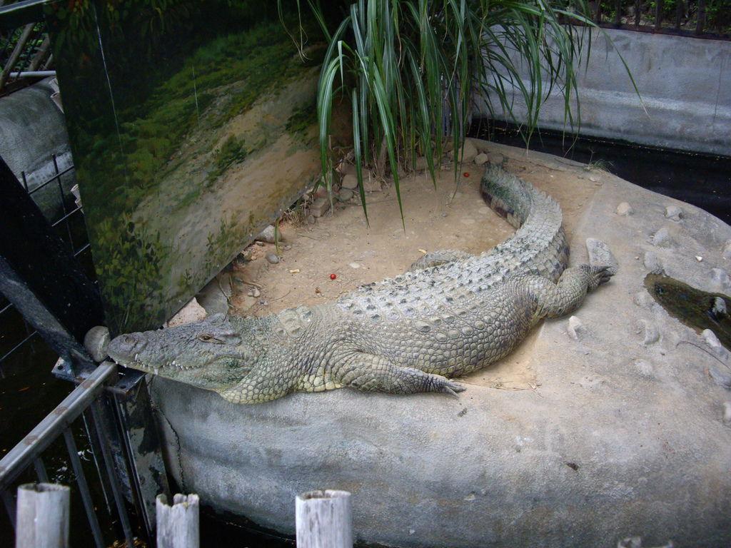 新竹動物園鱷魚