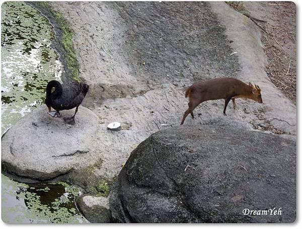 只看到黑天鵝與山羌