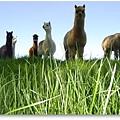羊駝臨草原