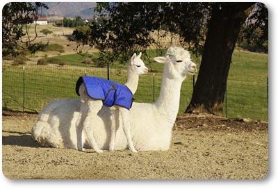 羊駝穿衣服