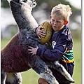 羊駝玩美式足球