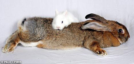 世界最大兔子amy03