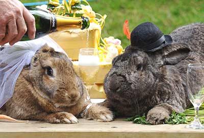 世界最大兔子amy05 結婚