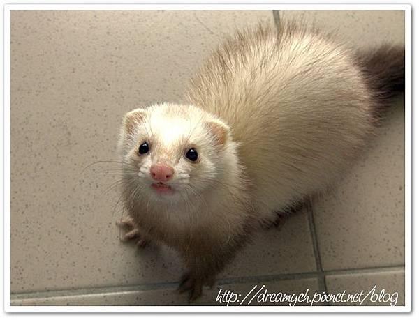 寵物貂‧水汪汪的大眼睛