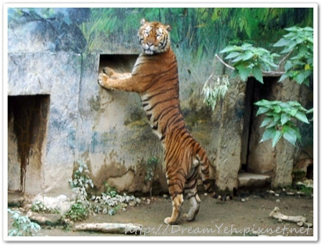 孟加拉虎‧我會站.JPG