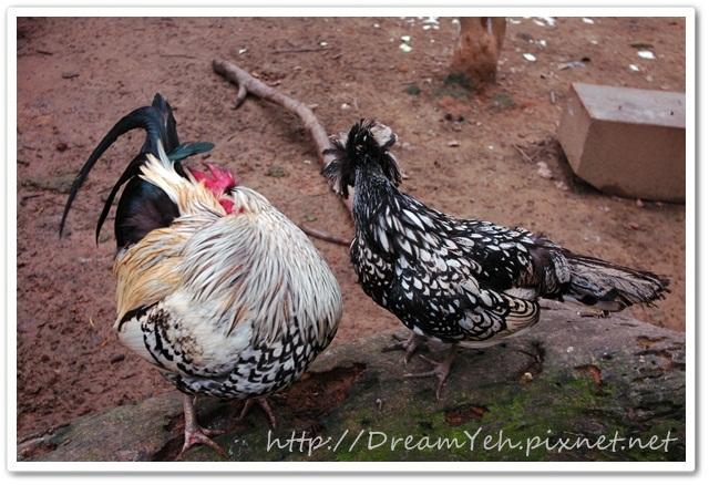 長尾雞雞vs富貴雞.JPG