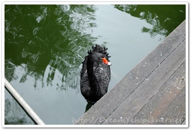 黑天鵝.JPG
