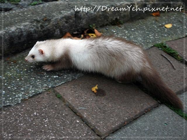 20貂‧悠閒的午後在水泥地上逛逛.JPG