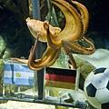 世足章魚哥預測德國隊阿根廷