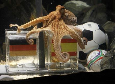 世足賽章魚哥預測德國隊西班牙