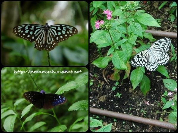 台灣的美麗蝴蝶