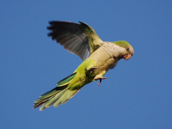 wild-parrot-safari2-722903.jpg