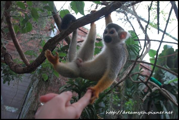 親人的金絲猴