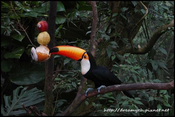 大嘴鳥吃水果