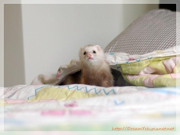 雪貂在床上
