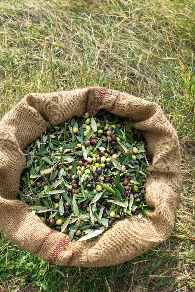 freshly-harvested-olives-(hr).jpg