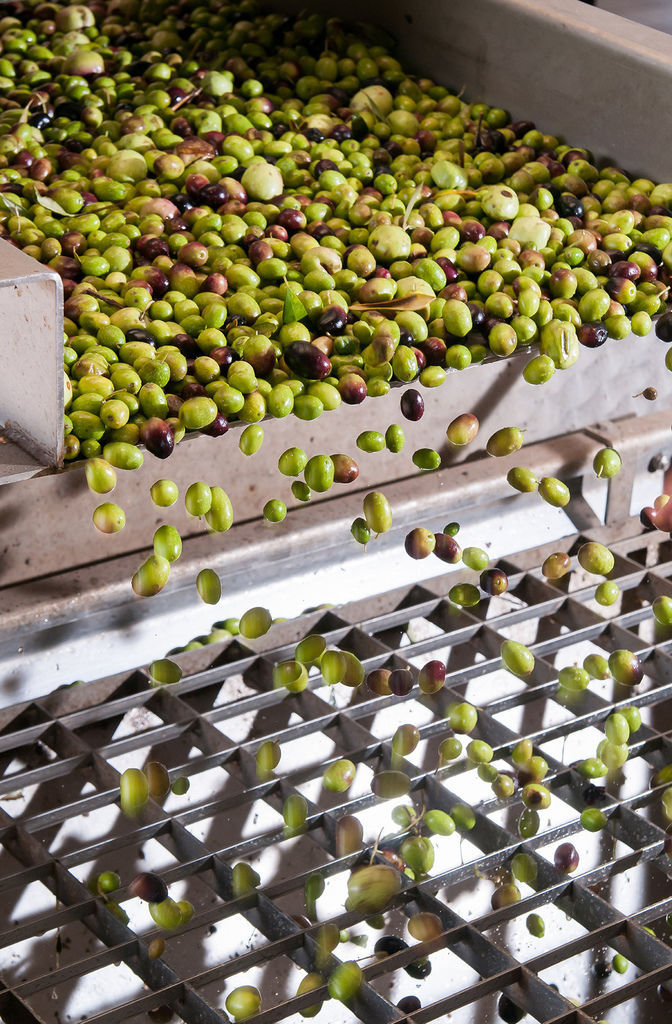 processing-olives-(hr).jpg