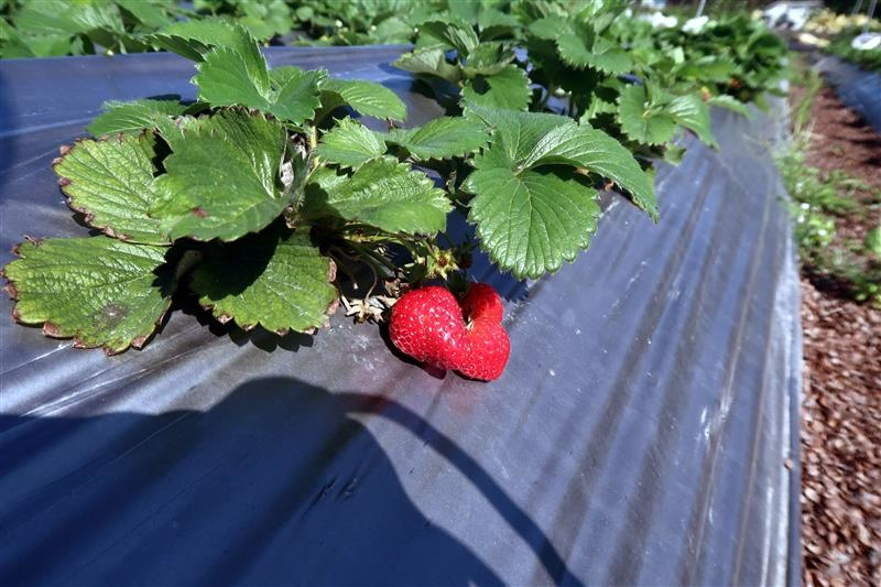 台北 採草莓 北大 016.jpg