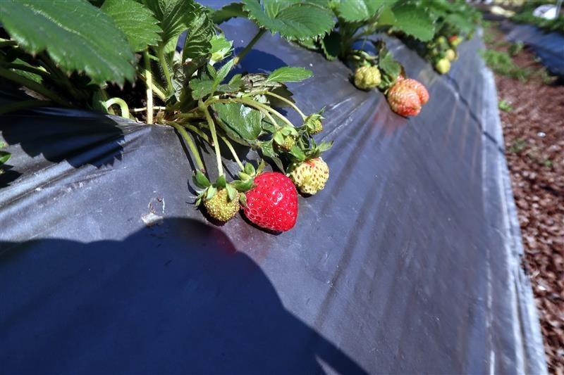 台北 採草莓 北大 017.jpg