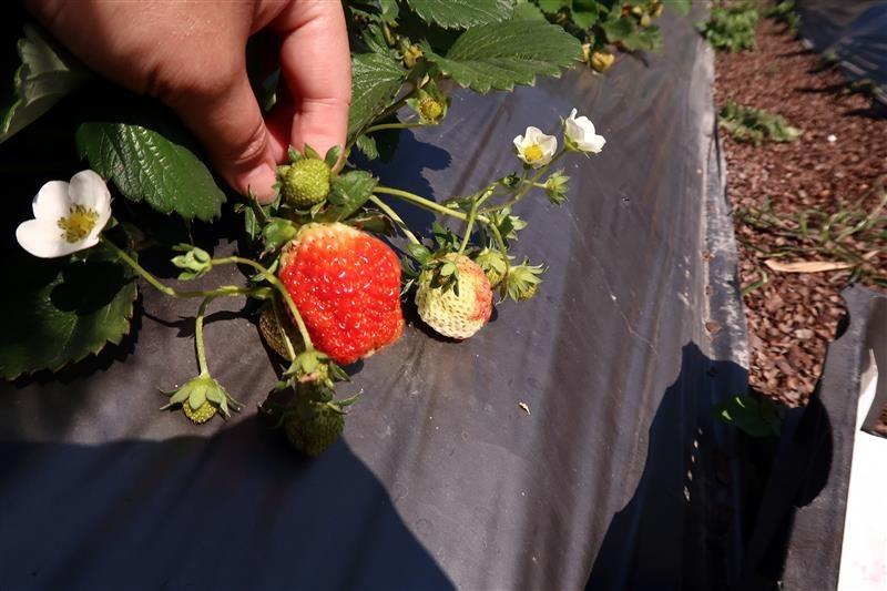 台北 採草莓 北大 020.jpg