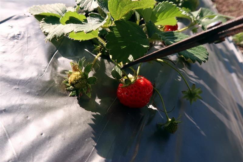 台北 採草莓 北大 023.jpg