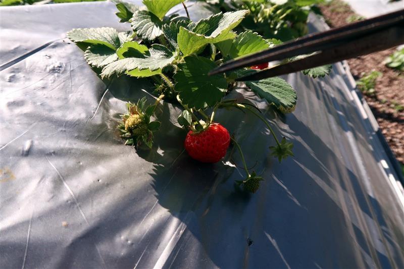 台北 採草莓 北大 022.jpg