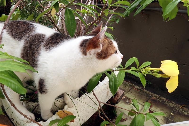 貓 跳蚤 蚤安 心疥爽 031.jpg
