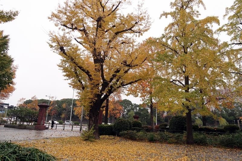 東京銀杏 日比谷公園 007.jpg