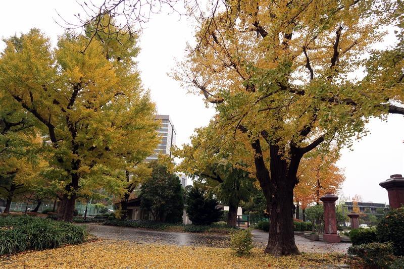 東京銀杏 日比谷公園 013.jpg